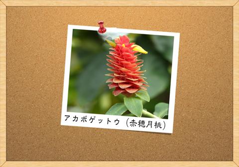 アカボゲットウ(赤穂月桃)