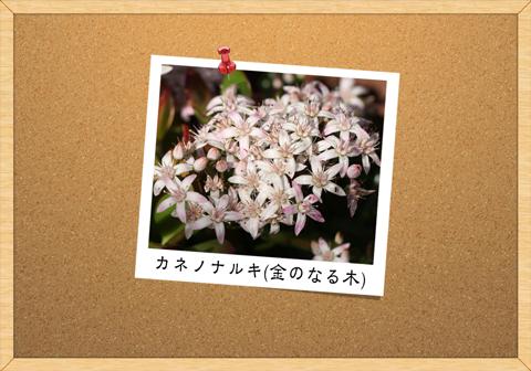 カネノナルキ(金のなる木)