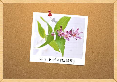 ホトトギス(杜鵑草)